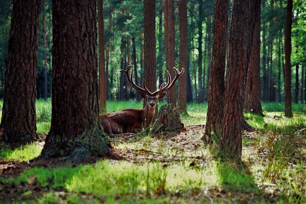 Благородный олень в Беловежской пуще