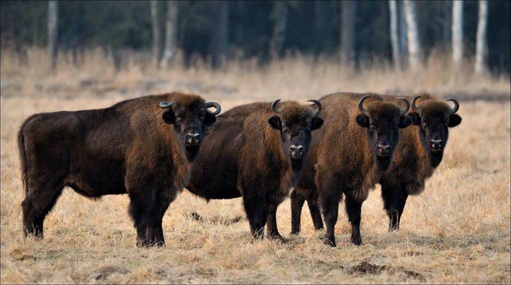 4 European bizons in the Bialowieza Forest