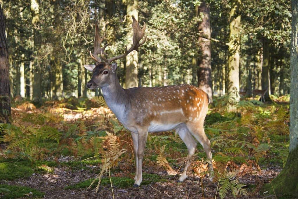Олень в Лесу Беларуси, охота